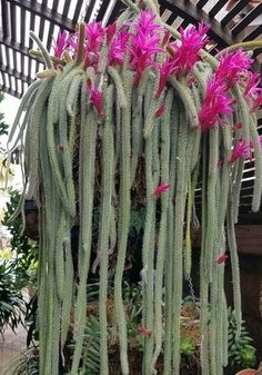 14 Cacti and Succulents that Hang or Trail | Succulent Plants and Care Cactus House Plants, Porch Plants, Indoor Plants, Hanging Succulents, Cacti And Succulents, Hanging Plants, Hanging Baskets, Cactus Planta, Cactus Y Suculentas