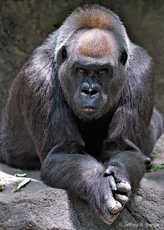 Gorilla, pondering the meaning of life? Rare Animals, Animals And Pets, Funny Animals, Strange Animals, Primates, Silverback Gorilla, Mountain Gorilla, Baboon, Pet Rats