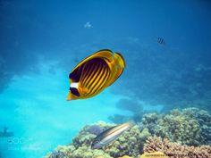 Chaetodon fasciatus by Gorrioni #nature #photooftheday #amazing #picoftheday #sea #underwater