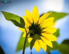 Summer Sunflower Photo / Flower Photography / by AshleyGreenPhoto