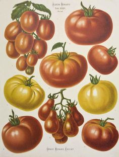 Tomatoes by Ernst Benary - circa 1870s?