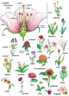 Forum | ________ Learn English | Fluent LandPart of a Plant | Fluent Land