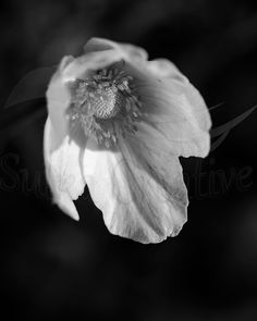 Items similar to Printable Black and White Anemone Photography, Flower on Etsy White Anemone, White Flowers, Flower Photography, Nature Photography, International Paper Sizes, Printing Services, Poster Size Prints, Art Print, Printable