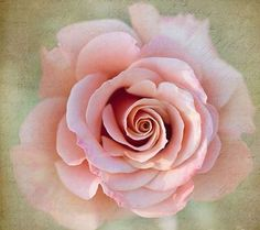 Beautiful pink rose!