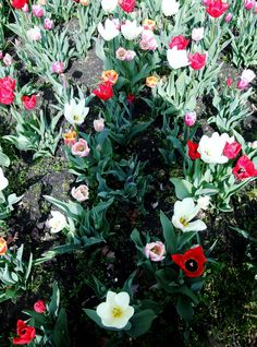 tulips from Amsterdam (by Pingwynne) Amsterdam Tulips, Plants, Plant, Planets
