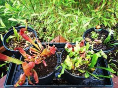 New carnivorous plants. Various species of pitcher plants and Venus fly traps.. Fly trappin. Very hard to grow. Zero nutrients super low ph. moss agregriate cocomix distilled water only!  #carnivore #Fireflower #mario #grow #venusflytrap #carnivorousplants #carnivoroustagram #aerogarden #aerogardens #pollen #seeds Heady #yinyang #陰 @peaceloveandknottyhemp by xtractors