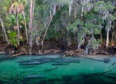 Manatees Of Crystal River, Florida Photography By: Neil Ever Osborne Hiking In Florida, Florida Trail, Old Florida, Florida Vacation, West Florida, Florida Georgia, Vacation Places, Blue Springs State Park, Florida Springs