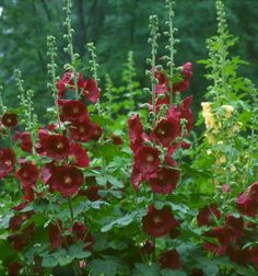 Holly Hock.  Beautiful, but will not bloom until 2nd year after planting seeds