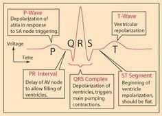 A cardiac cycle, or one heartbeat, is represented on the ECG as one PQRST sequence. Between cardiac cycles the ECG recorder returns to the isoelectric line (the flat line on the ECG strip during. Cardiac Nursing, Nursing Mnemonics, Pathophysiology Nursing, Pharmacology Mnemonics, Med Surg Nursing, Nursing School Notes, Nursing Schools, Nursing School Humor, Critical Care Nursing