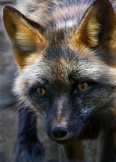 Cross Fox : The cross fox is a partially melanistic colour variant of the red fox (Vulpes vulpes) which has a long dark stripe running down its back, intersecting another stripe to form a cross over the shoulders. It tends to be more abundant in northern regions and is rarer than the common red form, but is more common than the even darker silver fox.