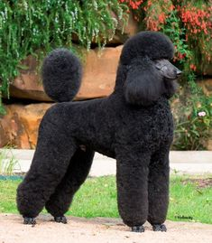 Finn looks like this but he doesn't hold his tail straight up. #poodle