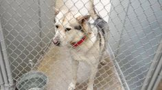 THIS BEAUTIFUL BOY IS IN TROUBLE! HE MUST LEAVE THE SHELTER TODAY 3/11 WITH A RESCUE, FOSTER OR ADOPTER!  Cage 27-Denver  Wht/Blk G. Shep/Husky X, Male 2 Yrs Impound 3/4 Due out 3/11 Roswell Animal Control 705 E. McGaffey; Roswell, NM 575-624-6722  https://www.facebook.com/RoswellUrgentAnimalsAtAnimalControl/photos/a.256367154531289.1073741868.176246809209991/261534987347839/?type=1&theater