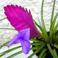 Garden Center - Tillandsia Cyanea anita 15-20 cm