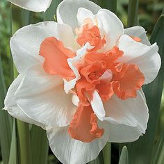 The best double-flowered pink Daffodil in the world, 'My Story' is often used to raise funds for Multiple Sclerosis.