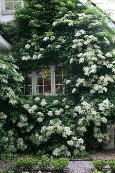 Note: Would love a climbing hydrangea like this climbing on guest bedroom/screen porch exterior. Garden Cottage, Home And Garden, Garden Living, Beautiful Gardens, Beautiful Flowers, Climbing Hydrangea, Climbing Vines, Exterior, White Gardens