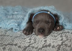 Puppy Love!  blue Pit Bull Terrier baby dog nestled under the blue wrap that I hand knit:  Thanks, Sarah Anne Photography for thinking outside the box and going all out! :D