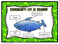 Diagram of a shark poster for the classroom! Perfect for an ocean animal unit!