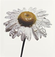 Irving Penn. Daisy with Water Drops, New York, 1968-69
