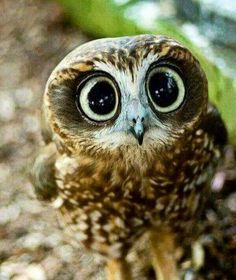 Owl… Cute … ♥ Let's protect our world! Help saving the planet so we c… Owl… Cute … ♥ Let's protect our world! Help saving the planet so we can all live to continue seeing these amazing animals! Help protect their home also our home! Baby Owls, Cute Baby Animals, Animals And Pets, Funny Animals, Funny Owls, Baby Exotic Animals, Big Eyed Animals, Animals Kissing, Nature Animals