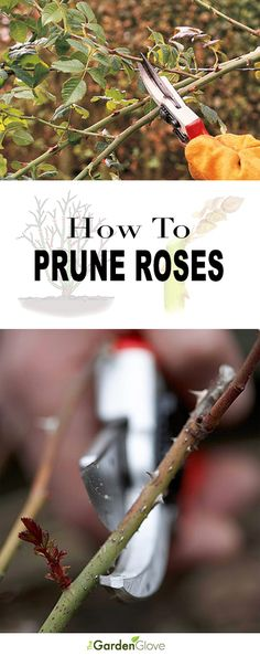 How to Prune Roses - Great tips, tutorial and diagrams!