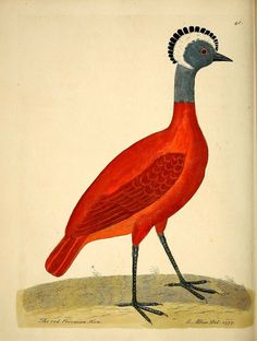 poplifeplus: The red peruvian hen, from 'A Natural History of Birds' - Eleazar Albin, 1731, London