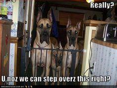 Great Dane humor :)
