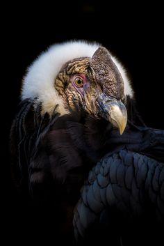 Male Andean Condor by alan shapiro Andean Condor, Amazing Animal Pictures, Sparrow Bird, Weird Creatures, Vulture, New Haircuts, Big Bird, Birds Of Prey, Tattoo