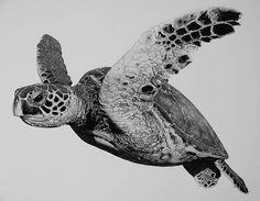 Hawksbill by william harrison, wolff carbon pencil on paper Animal Drawings, Pencil Drawings, Turtle Sketch, Sea Turtle Art, Sea Turtles, Realistic Sketch, Graphite Drawings, Arte Pop, Sea Creatures