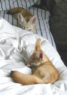 Foxes!! I want a fennec fox as a pet! I'm not sure what I would name it though. . .