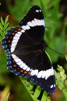 ˚White Admiral Butterfly by BugMan50 @ Flickr