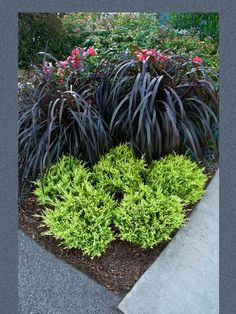 Juniperus Good Vibrations Gold Junipers are very easy to grow, drought tolerant and deer resistant. The evergreen foliage provides low-maintenance color year round in your landscape