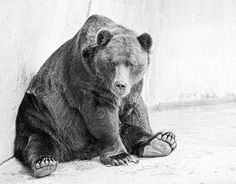 "Not quite a pet, but definitely a great model.  This is a brown bear at the Brookfield Zoo near Chicago, IL. Black and white with my own ""sketch effect."""