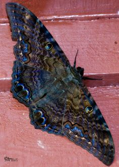 BLACK WITCH MOTH. We frequently see these huge and hugely beautiful moths around our house & garden in Kona, Hawaiʻi. Non-native. —❀HPVR❀