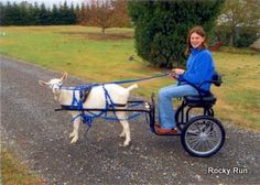 """This goat packs, milks, shows and drives! I will do this eventually!"" Haha Erin"