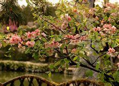 Chaenomeles speciosa:  Flowering Quince