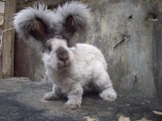 This is an English Angora with closely trimmed fur :)  by Ingrid Phoenix Doerksen on FB AHA!  Bumble this may be your new look!!! TLR