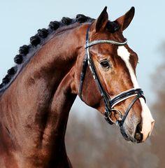 Holsteiner Stallion