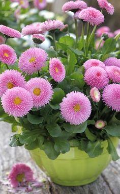 Bellis eignen sich hervorragend als Topfpflanzen für Balkon und Terrasse, sind aber auch eine hübsche, frühlingshafte Dekoration für den Tisch