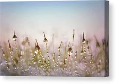 Dew Droplets Canvas Print for sale. Close-up photo of water drops on moss in a soft pink and blue color palette. Perfect for your Home, Office and Hotel Room Walls. Various sizes available. Click through to visit our Store and get inspired! #dewdroplets #canvasforsale Blue Colour Palette, Color Tones, Close Up Photos, How To Take Photos, Canvas Art For Sale, Morning Dew, Water Droplets, Light Blue Color, Fantastic Art