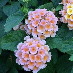 This wonderfully scented variety produces an abundance of brightly colored flowers all summer and fall, and it's also a magnet for butterflies. Thrives with little moisture and full sun. Grows up t...