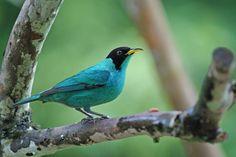 Foto saí-verde (Chlorophanes spiza) por Ivan Angelo | Wiki Aves - A Enciclopédia das Aves do Brasil