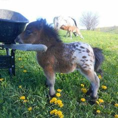 Have you ever seen a baby Appaloosa Mini Horse??