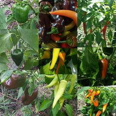 Peppers Peppers everywhere we are so pleased with the peppers this year best crop we have ever grown #chocolatepepper #cayenne #hungariansweetpepper #californiawonder #tequilasunrise #peppers #twvg #wi #mke #wisconsin #organic #harvest #best #fromseed #hot #mild #sweet