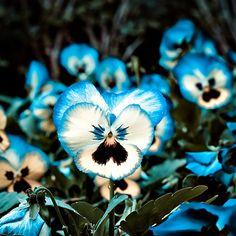 Pansies....they remind me of Alice in wonderland                                                                                                                                                                                 More