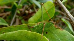 Foto/billede af Krumknivgræshoppe (Leptophyes punctatissima)