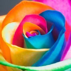 Beautiful rainbow colored roses