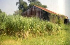 Sugarcane field about ready for harvest. Water Resources, Mississippi, Harvest, Shed, Outdoor Structures, Science, Barns, Sheds