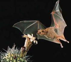 Papel del murciélago en la polinización.  Murcielago en flor
