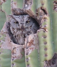 Owl nesting in a saguaro