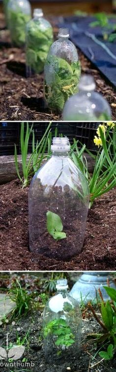 2-Liter Soda Bottles have several great uses! If you cut the bottom off, you can use them to cover seedlings like mini greenhouses. They a...